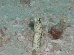 Spotted Garden Eel, &quot;Still Hangin On&quot;, taken in Sipadan w... by Tony Otion 